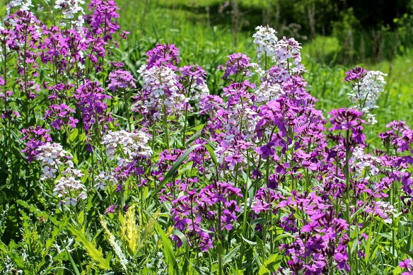 Dame's Rocket is an introduced plant, and it can become weedy.  But its fragrant magenta and white flowers are a welcome sight in spring.