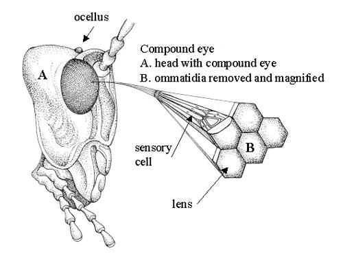 Dragonfly Eyes Back Yard Biology
