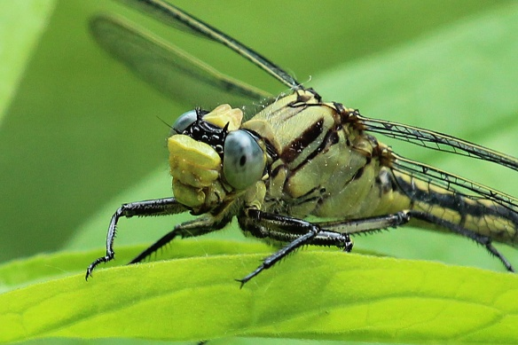 The jaws of the tiger -- a Horned Clubtail waits for its next meal.
