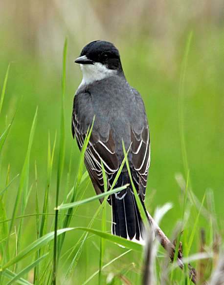 Both eastern and western kingbirds hunt for insects in the open prairie, but nest in the protection of shrubs and trees.