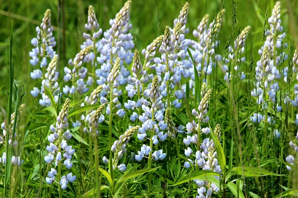 This wild lupine used to be very common.  Its decline is linked to the disappearance of the Karner blue butterfly.