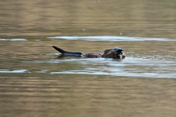 I expected the muskrat to roll over on its back to eat, like the sea otters do with their clams.
