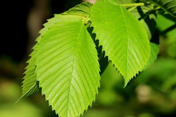 new elm leaves