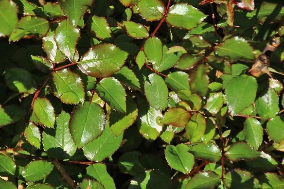new rose leaves