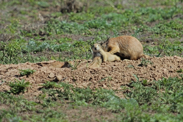 A youngster emerged from its burrow, followed by a parent, who proceeded to groom the youngster's back for several minutes while siblings looked on.