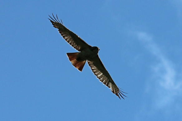 Backlighting illuminates the red tail, and shows how every secondary feather in the wing overlaps its neighbor to provide a smooth airfoil.