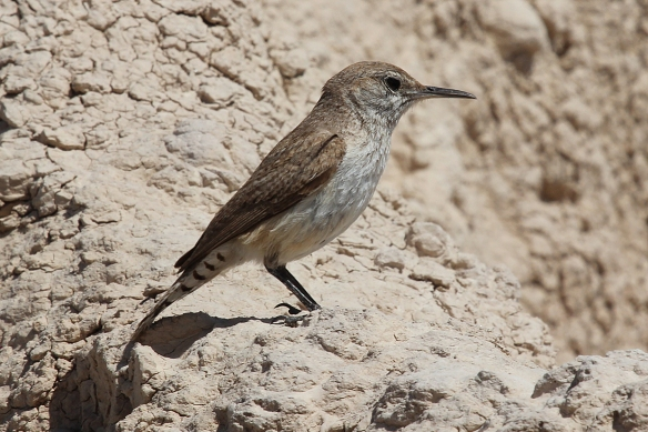 Rock Wrens are a western species, barely making it into SoDak.  Like House Wrens, they sing beautifully.  They can tolerate life in very dry places, eating insects, and don't depend on fresh water!