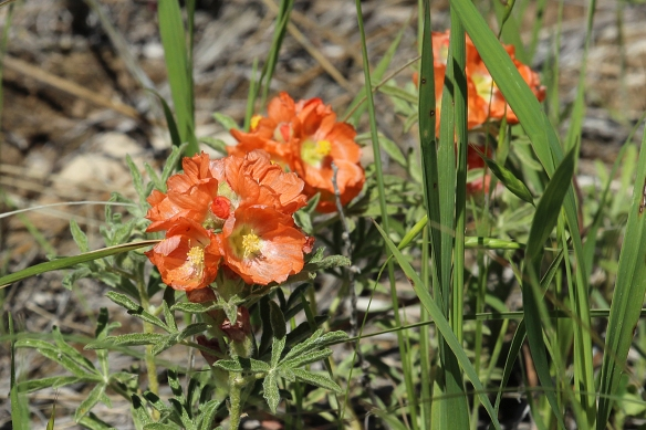 Scarlet (but looks orange) globemallow (a member of the hibiscus family) is one of the most drought resistant forbs on the prairie.  It increases in abundance with grazing pressure, unlike other forbs, and can thrive in more arid habitats.