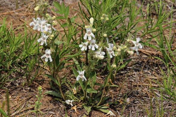 The root of White Beardtongue, or white penstemon (named for the five-lobed flower) was chewed by Sioux Indians as a remedy for toothachie