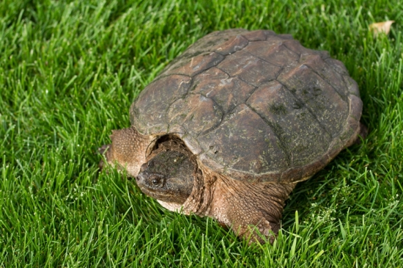 Snapping Turtles can be aggressive if you try to pick them up.