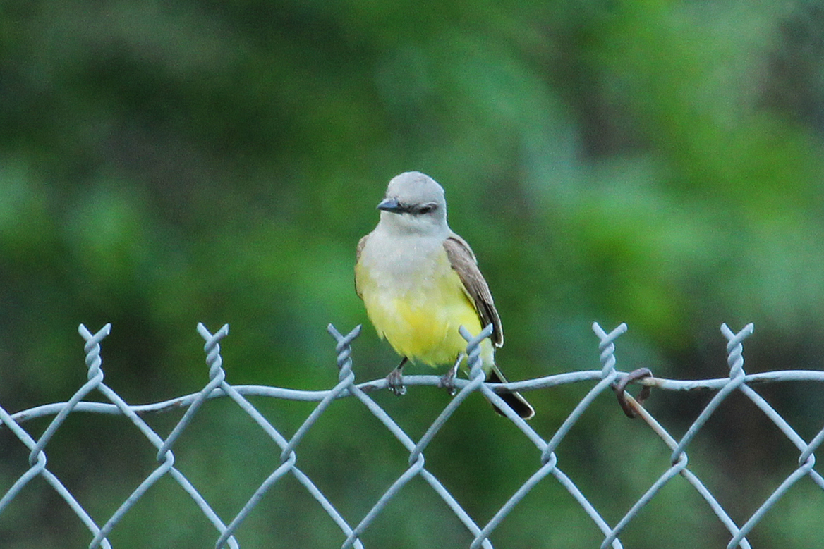 Western Kingbirds are similar in size and habits to their eastern counterparts, the Eastern Kingbirds.