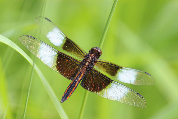 Widow Skimmer male (not fully mature) perched vertically in low vegetation.