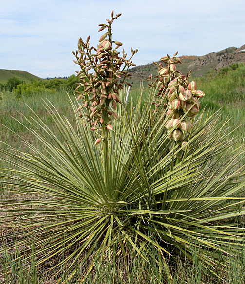 Yucca, also called soapweed or Spanish bayonet, also grows in more arid prairie.  Multiple stout flower stalks covered with creamy white flowers can reach four feet. In addition to seeding itself, it can also spread by underground rhizome.