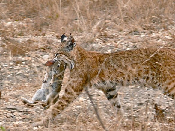 Bobcat (Lynx rufus) with rabbit dinner.  By Linda Tanner [CC-BY-2.0 (http://creativecommons.org/licenses/by/2.0)], via Wikimedia Commons