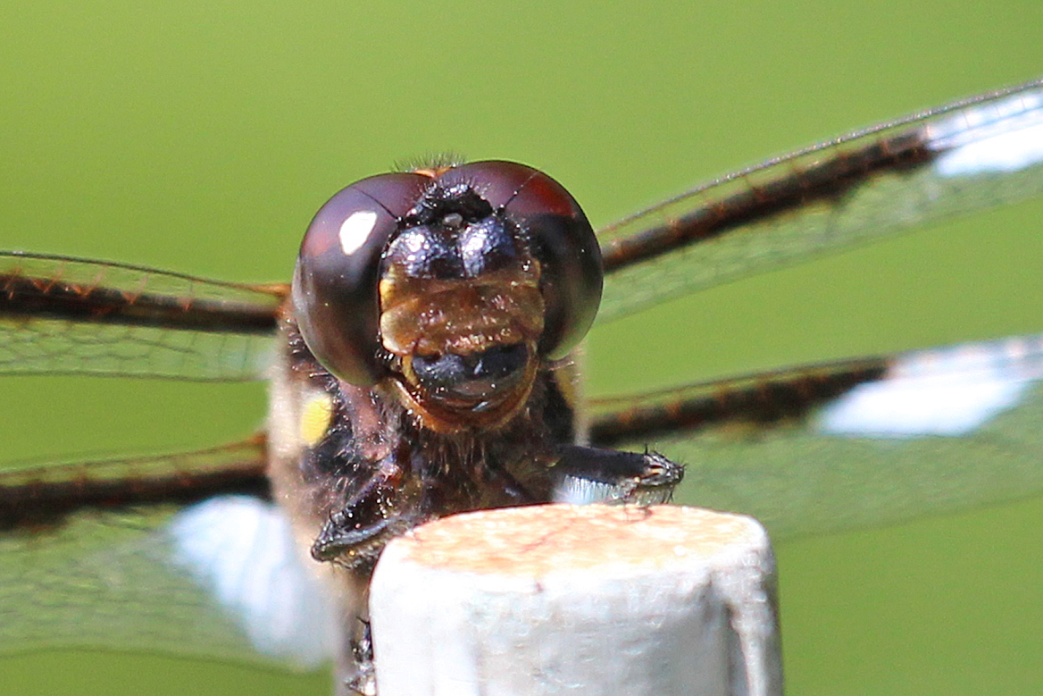 dragonfly mouthparts | Back Yard Biology