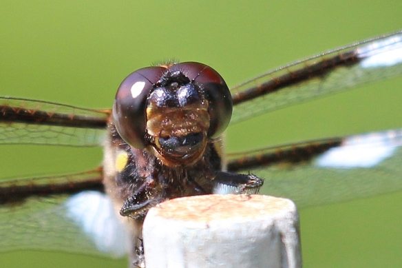12-spotted skimmer face