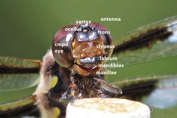 12-spotted skimmer head-labeled