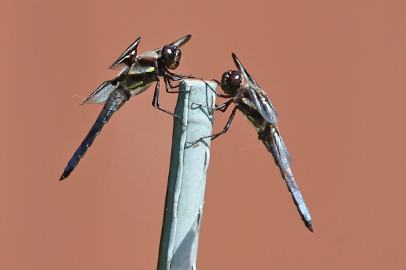 The male 12-spotted skimmer on the right attempted to usurp this perch from the male on the left, but was chased away.