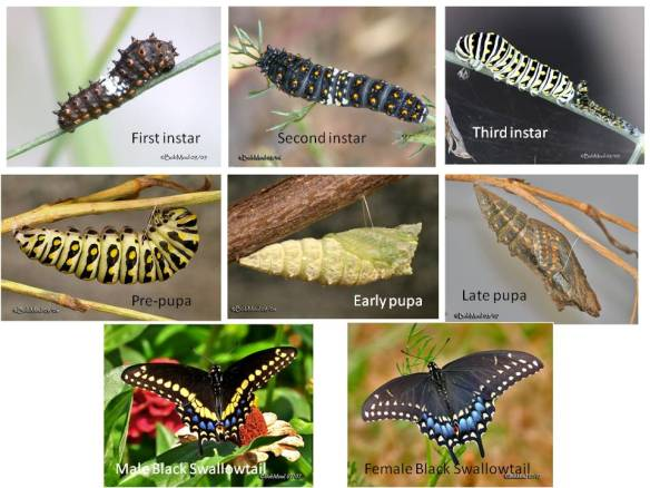 The first two instars are black, gradually developing spots.  The last instar is black and yellow, gradually becoming greener as it gets larger.  Unlike the Monarch chrysalis, the Black Swallowtail pupa is supported by a silken thread wound around its middle, as well as at the tip of the former abdomen.   The male and female are distinctly different in the markings on their hind wings.