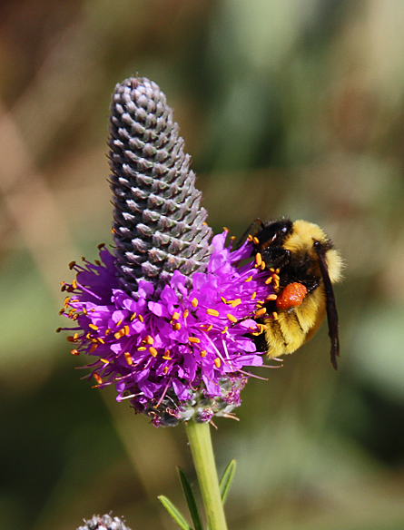 Bumblebee on purple prairie clover