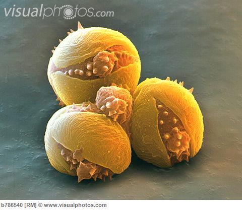 Pollen grains of horse chesnut (buckeye) split open around the germination pore when bathed in a sugar solution.