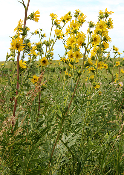 Compass Plant may grow to 6-8 feet, and its large yellow flowers attract all sorts of bees.  When it grows in dry, open areas, its leaves often orient in a north-south direction, hence the name.  Pioneer children broke the stems, allowed the resinous exudate to dry and then chewed it like gum.  Unfortunately it is highly palatable and can be eradicated by grazing cattle or browsing deer.
