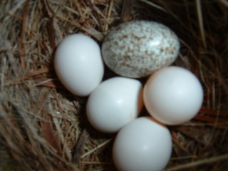 Brown-headed Cowbird egg in the nest of an Eastern Phoebe (By Frankie Rose (This is my own work.) [Public domain], via Wikimedia Commons