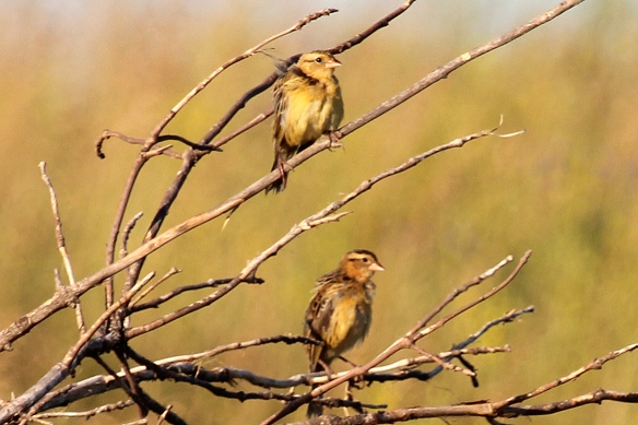Male Dickcissel in breeding plumage look like a Meadowlark with a bright yellow V on the breast and black bib.  Juvenile birds and females show some of the yellow coloration on both the breast and head.