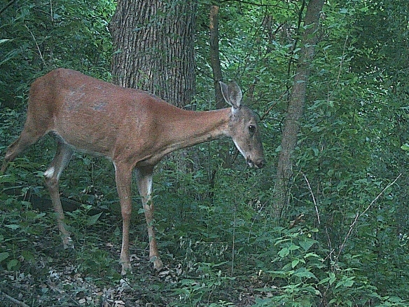 This doe is definitely not looking her healthy best.  She looks very thin, with a mangy sort of coat.