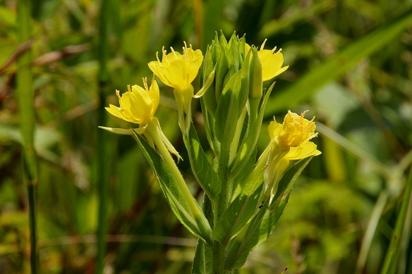 Common Evening Primrose is indeed common, and can even become invasive in disturbed areas.  Its seeds contain an oil that apparently was useful for reducing menstrual cramps and skin lesions.
