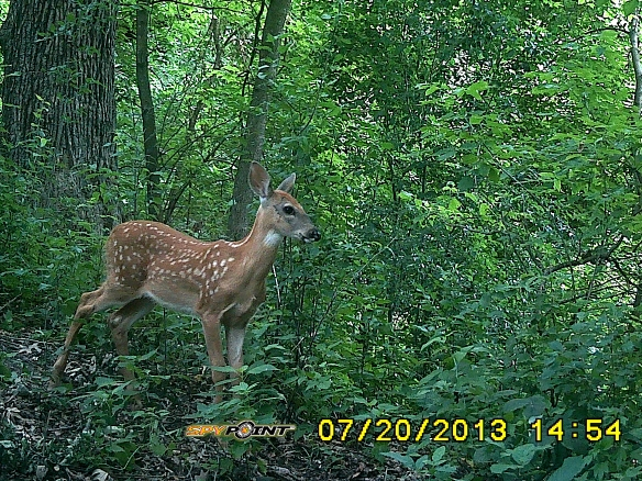 Almost exactly two months later, fawns have grown quite a bit, but still have their camouflage spots.