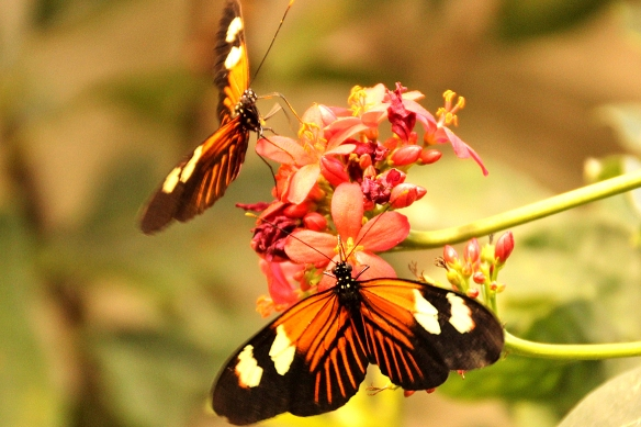 Heliconius butterflies sipping nectar, taken at the Insectarium in New Orleans, LA.