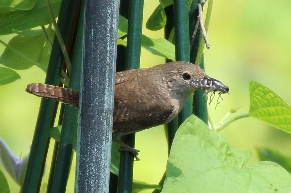 """I have something to feed my babies -- don't look while I approach.""  This wren made two short hops in a bush next to the nest box and then popped inside."