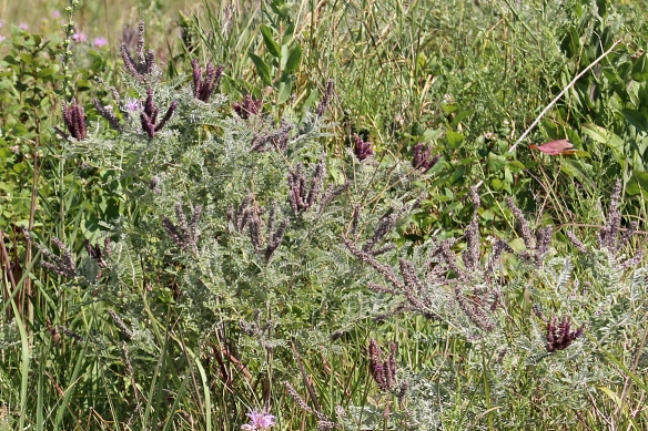 "Lead Plant is really more of a woody shrub, with gray green leaves and deep purple flowers on long stalks.  Its presence was mistakenly associated with the presence of lead in the soil, but the name stuck.  Indians called it ""Buffalo-bellow Plant"" because it bloomed when the buffalo were rutting."