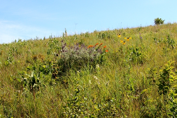 Looking toward the top of this prairie hill, there are at least a dozen species blooming:  lead plant (purple spikes), butterfly weed (orange), prairie coneflower (yellow), and tiny white flowered whorled milkweed (in front of lead plant) to name a few.