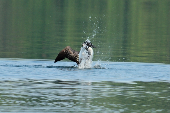 loon attack