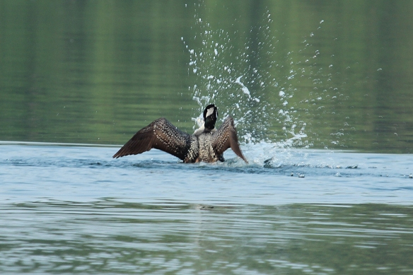 What have you got in your feet there, Mr/Ms Loon?