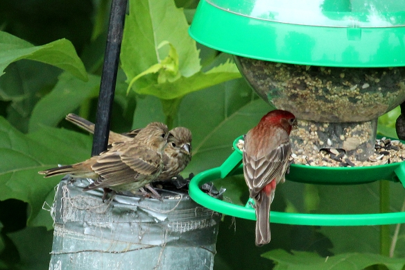 Dad led them over to the bird feeder, showing them I suppose that this is where you eat.  But they wanted him to stick the seed in their mouths, by chirping continuously and fluttering their wings.