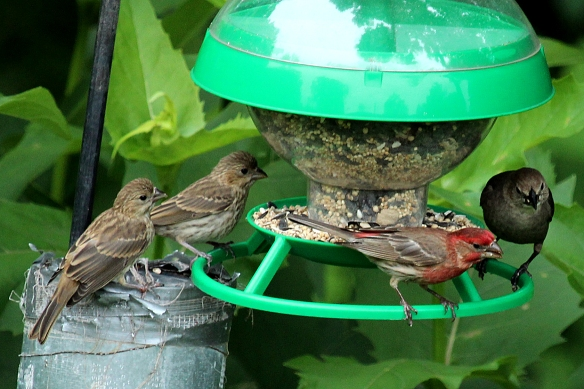 They haven't quite connected the appearance of seed with food -- still too fixed on being fed instead.  A cowbird looks on; she didn't have to worry about feeding her babies, because she left her eggs in someone else's nest!