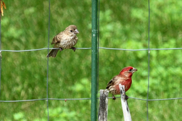 Four fledgling House Finches bombarded their dad, urging him to find them some food.  At one point they all sat on the fence directly above him, noisily chirping away.  He looks unconcerned about it.