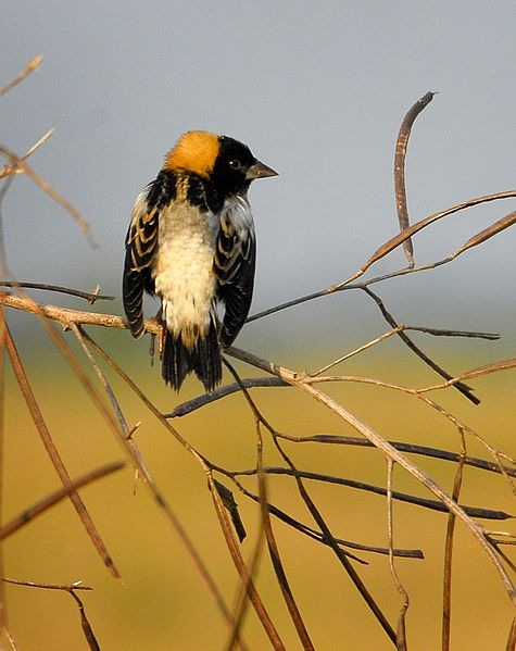 Male Bobolink in breeding plumage (by Andrea Westmoreland via Wikimedia Commons)