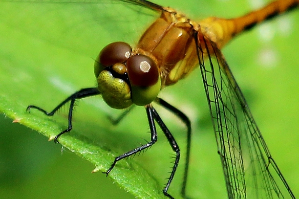 Head of a X-faced Meadowhawk