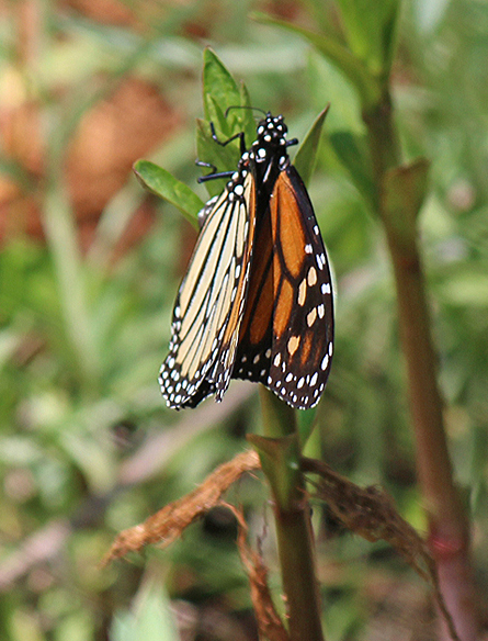 Last year, Monarch Butterflies were faced with laying their eggs on 6-8 inch tall plants.