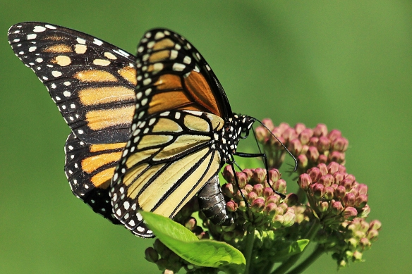 monarch butterfly laying eggs on milkweed-1