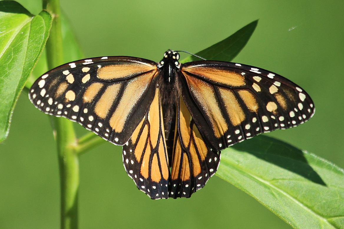 Monarch butterfly body - photo#21