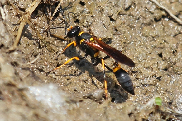 But this black and yellow mud daubers were scoping out the mud for nest construction.