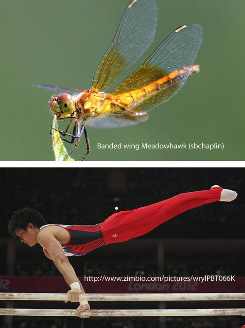 dragonfly vs gymnast horizontal pose