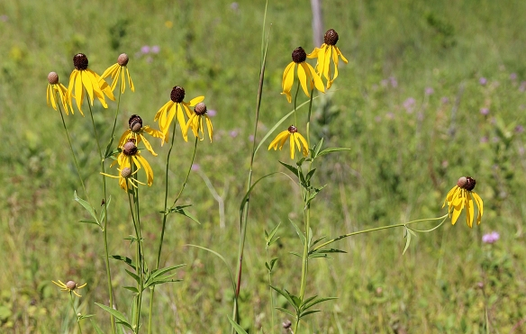 Gray headed Coneflower spreads easily by underground rhizome, so it is often found in bunches on the prairie.  It does especially well on disturbed sites, and is often found on roadsides.