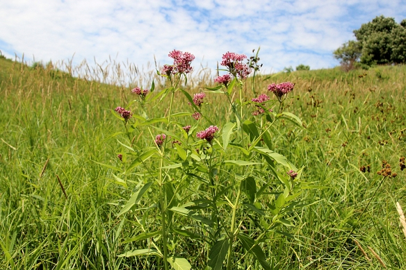 Even Swamp Milkweed grows in more mesic sites on the prairie, in this case a draw on a grassy slope that collected water at its base.