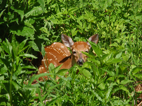 A doe stashed her fawn in the garden while she foraged elsewhere.